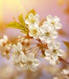 ανθίζοντας άνοιξη sakura λουλουδιών κερασιών κλάδων Στοκ Εικόνα