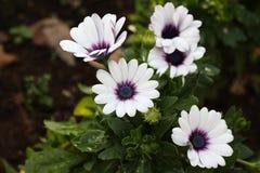 Ανθίζοντας άσπρα αφρικανικά λουλούδια μαργαριτών στο λιβάδι Στοκ φωτογραφία με δικαίωμα ελεύθερης χρήσης