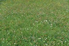 Ανθίζοντας ανθίζοντας άσπρα λουλούδια στο υπόβαθρο λιβαδιών Στοκ Φωτογραφίες