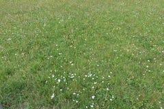 Ανθίζοντας ανθίζοντας άσπρα λουλούδια στο υπόβαθρο λιβαδιών Στοκ Εικόνες