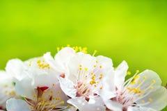 Ανθίζοντας άσπρα λουλούδια άνοιξη άνοιξη Στοκ Εικόνα