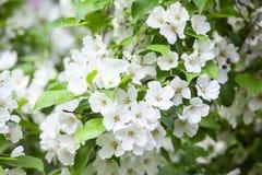 Ανθίζοντας άσπρα λουλούδια στον κλάδο μήλων Στοκ Φωτογραφία
