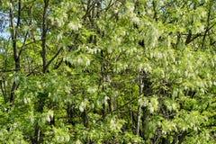 Ανθίζοντας άσπρες δέσμες των άσπρων λουλουδιών ακακιών στο φωτεινό φως του ήλιου Φυσική ανασκόπηση στοκ φωτογραφίες με δικαίωμα ελεύθερης χρήσης