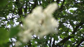 Ανθίζοντας άσπρη πασχαλιά στο βοτανικό κήπο απόθεμα βίντεο