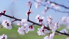 Ανθίζοντας άσπροι κλάδοι βερίκοκων Κάρτα άνοιξη Ημέρα Απριλίου Φύση άνοιξη φιλμ μικρού μήκους