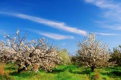 Ανθίζοντας άσπρος κήπος άνοιξη φρούτων λουλουδιών στοκ εικόνα με δικαίωμα ελεύθερης χρήσης