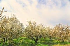 Ανθίζοντας άσπρος κήπος άνοιξη φρούτων λουλουδιών στοκ φωτογραφία με δικαίωμα ελεύθερης χρήσης