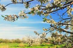 Ανθίζοντας άσπρος κήπος άνοιξη φρούτων λουλουδιών στοκ εικόνες με δικαίωμα ελεύθερης χρήσης