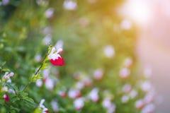 Ανθίζοντας άσπρος-ρόδινος όμορφος κήπος λουλουδιών στο πάρκο Στοκ Εικόνες
