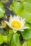 Ανθίζοντας άσπρος λωτός και μικρές μέλισσες Στοκ Φωτογραφία