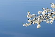Ανθίζοντας άσπρο δέντρο κερασιών Στοκ Φωτογραφίες