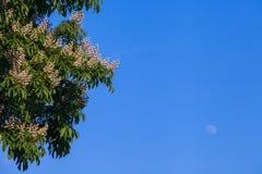 Ανθίζοντας άσπρο κάστανο Στοκ φωτογραφία με δικαίωμα ελεύθερης χρήσης