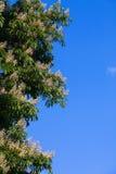 Ανθίζοντας άσπρο κάστανο Στοκ εικόνα με δικαίωμα ελεύθερης χρήσης