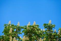 Ανθίζοντας άσπρο κάστανο Στοκ εικόνες με δικαίωμα ελεύθερης χρήσης