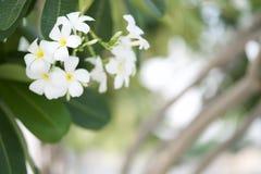 Ανθίζοντας άσπρο λουλούδι Plumeria στο όμορφο πάρκο στοκ εικόνες