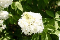 Ανθίζοντας άσπρο λουλούδι της Annabelle Στοκ φωτογραφίες με δικαίωμα ελεύθερης χρήσης