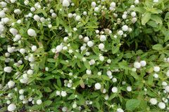 Ανθίζοντας ανθίζοντας άσπρο υπόβαθρο λουλουδιών Στοκ Εικόνες