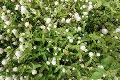 Ανθίζοντας ανθίζοντας άσπρο υπόβαθρο λουλουδιών Στοκ Φωτογραφίες