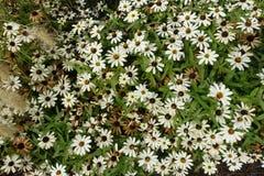 Ανθίζοντας ανθίζοντας άσπρο υπόβαθρο λουλουδιών Στοκ φωτογραφίες με δικαίωμα ελεύθερης χρήσης