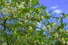 Ανθίζοντας δέντρα άνοιξη ενάντια στο μπλε ουρανό Στοκ Εικόνα
