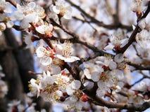 Ανθίζοντας δέντρα, ανθίζοντας οπωρωφόρα δέντρα, δέντρα βερικοκιών άνοιξη και άνθισης Στοκ Εικόνα