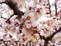 Ανθίζοντας δέντρα, ανθίζοντας οπωρωφόρα δέντρα, δέντρα βερικοκιών άνοιξη και άνθισης Στοκ Φωτογραφίες