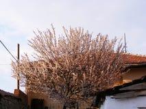 Ανθίζοντας δέντρα, ανθίζοντας οπωρωφόρα δέντρα, δέντρα βερικοκιών άνοιξη και άνθισης Στοκ Εικόνες