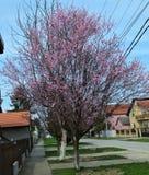 Ανθίζοντας δέντρα βερικοκιών στην άνοιξη Στοκ Εικόνα