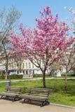 Ανθίζοντας δέντρα κερασιών σε ένα πάρκο άνοιξη Στοκ Εικόνες