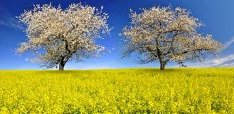 Δέντρα κερασιών Στοκ εικόνα με δικαίωμα ελεύθερης χρήσης