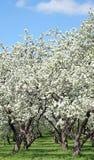 ανθίζοντας δέντρα μήλων Στοκ φωτογραφίες με δικαίωμα ελεύθερης χρήσης