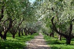 ανθίζοντας δέντρα μήλων Στοκ Εικόνα
