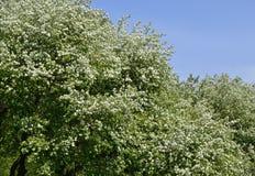 Ανθίζοντας δέντρα μηλιάς ενάντια στο μπλε ουρανό Στοκ εικόνα με δικαίωμα ελεύθερης χρήσης