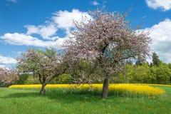 Ανθίζοντας δέντρα μηλιάς μπροστά από έναν κίτρινο τομέα βιασμών Στοκ Εικόνα
