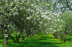 Ανθίζοντας δέντρα μηλιάς στον κήπο Στοκ φωτογραφία με δικαίωμα ελεύθερης χρήσης