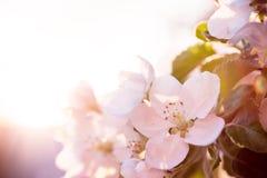 Ανθίζοντας δέντρα μηλιάς την άνοιξη Στοκ φωτογραφίες με δικαίωμα ελεύθερης χρήσης