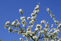 Ανθίζοντας δέντρα μηλιάς την άνοιξη Στοκ εικόνα με δικαίωμα ελεύθερης χρήσης