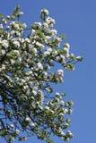 Ανθίζοντας δέντρα μηλιάς την άνοιξη Στοκ Φωτογραφία