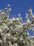 Ανθίζοντας δέντρα μηλιάς την άνοιξη Στοκ εικόνες με δικαίωμα ελεύθερης χρήσης