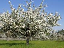 Ανθίζοντας δέντρα μηλιάς την άνοιξη Στοκ Εικόνα