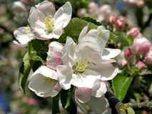 Ανθίζοντας δέντρα μηλιάς την άνοιξη Στοκ Εικόνες