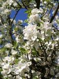 Ανθίζοντας δέντρα μηλιάς την άνοιξη Στοκ φωτογραφία με δικαίωμα ελεύθερης χρήσης