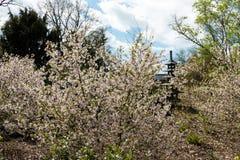 Ανθίζοντας δέντρα sakura Στοκ φωτογραφίες με δικαίωμα ελεύθερης χρήσης
