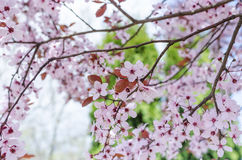 Ανθίζοντας δέντρο άνοιξη στοκ εικόνες με δικαίωμα ελεύθερης χρήσης