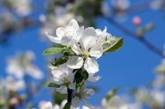 Ανθίζοντας δέντρο ένα Apple-δέντρο την άνοιξη Στοκ φωτογραφία με δικαίωμα ελεύθερης χρήσης