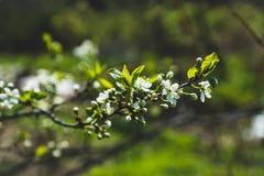 Ανθίζοντας δέντρο δαμάσκηνων στον κήπο Στοκ φωτογραφία με δικαίωμα ελεύθερης χρήσης