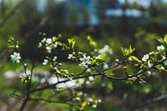 Ανθίζοντας δέντρο δαμάσκηνων στον κήπο Στοκ εικόνες με δικαίωμα ελεύθερης χρήσης