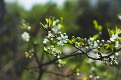 Ανθίζοντας δέντρο δαμάσκηνων στον κήπο Στοκ Φωτογραφίες