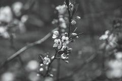 Ανθίζοντας δέντρο δαμάσκηνων στον κήπο Στοκ Εικόνες