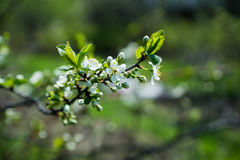 Ανθίζοντας δέντρο δαμάσκηνων στον κήπο Στοκ φωτογραφίες με δικαίωμα ελεύθερης χρήσης